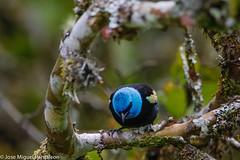 4--La Tangara Real es una ave que se encuentra en los Andes y se caracteriza por su llamativo color turquesa en la cabeza contrastando con su cuerpo de color negro. Su nombre Tangara deriva de la lengua Tupí y significa bailarín.Cyanicollis =Azul
