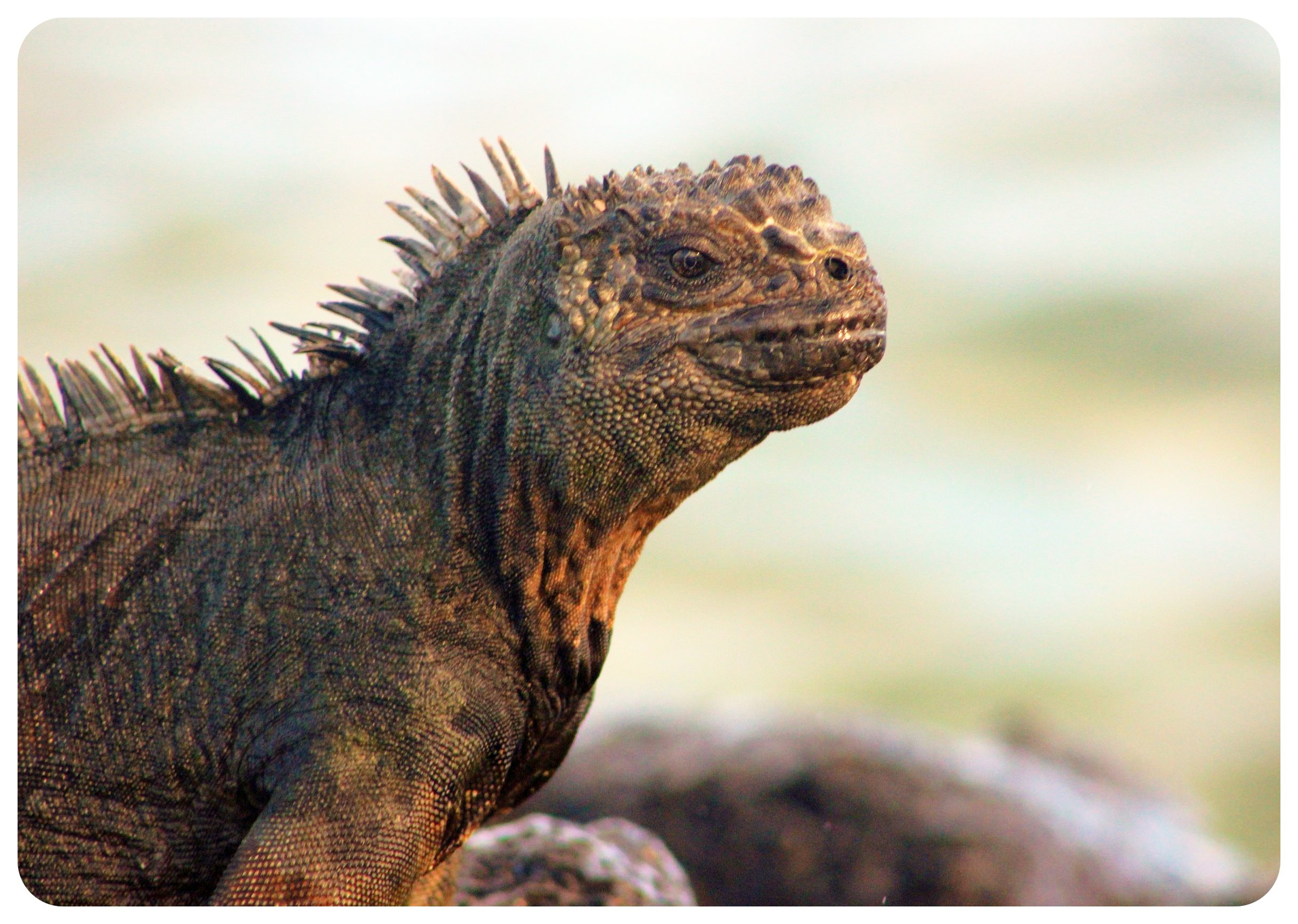 galapagos islands marine iguana
