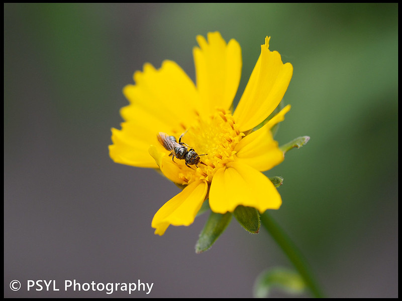 Halictid bee on Coreopsis sp.