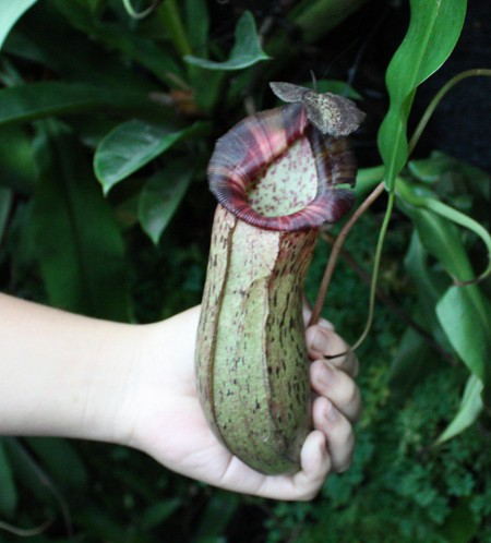 nepenthes_robcantleyi_02