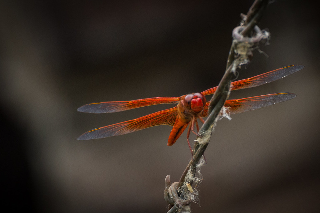 Second Orange Dragonfly