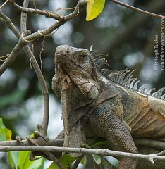 Iguana's noble profile