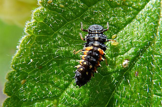 Harlequin ladybird larva 164/365, Panasonic DMC-FZ28