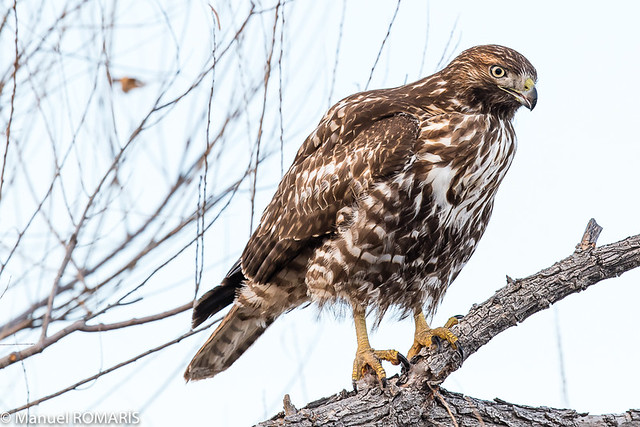 Hawk, Canon EOS 7D MARK II, Canon EF 500mm f/4L IS II USM