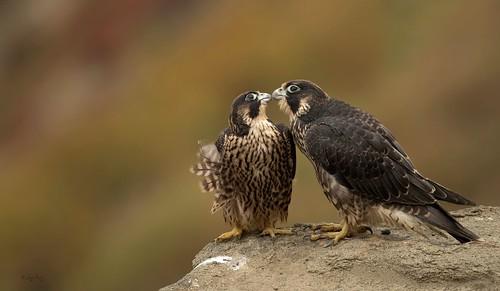 Peregrine Falcons
