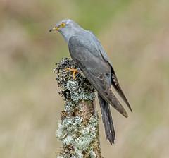 JWL8376  Cuckoo..