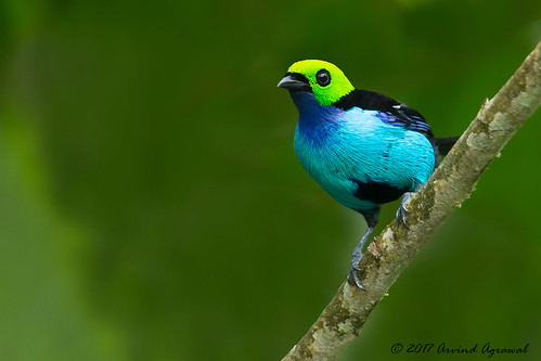 Paradise Tanager - _MG_9136-1.1