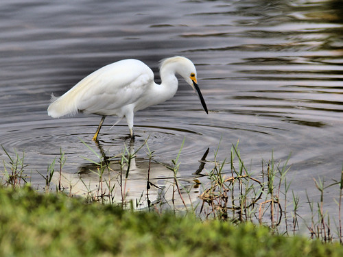 Snowy Egret 01-20170605