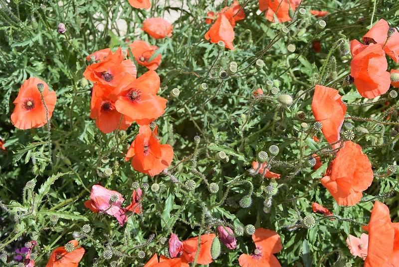 Poppies 02.06 (2)