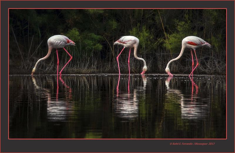 Tres flamencs 26 (Phoenicopterus roseus) Three flamingos 26 (El racó de l'Olla, València, l'Horta, Spain