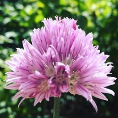 Chive alive! #gardener #chive #flower #gardenersofinstagram