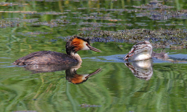 Great crested grebes, Canon EOS 7D MARK II, Sigma 150-500mm f/5-6.3 APO DG OS HSM