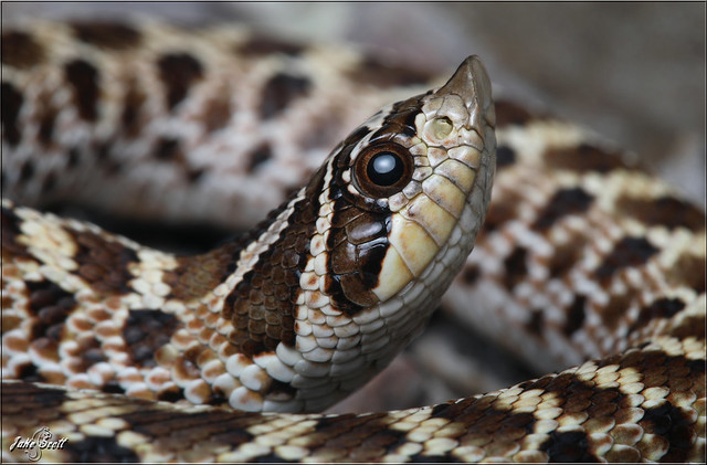 Mexican Hognose (Heterodon kennerlyi)