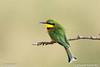 Little bee-eater.....tarangire NP Tanzania