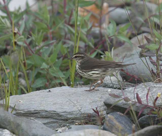 Northern Waterthrush, Canon EOS 7D MARK II, Canon EF 400mm f/4 DO IS