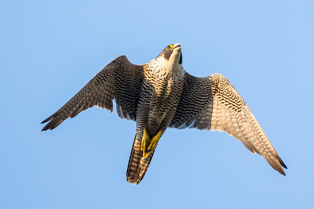 Peregrine, Canon EOS-1D X MARK II, Canon EF 400mm f/4 DO IS II USM