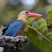 Stork-billed Kingfisher (Andy Hawkins)