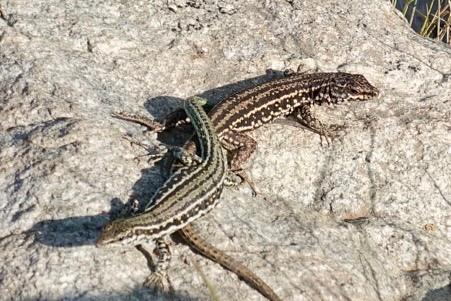 Lizards doin' it