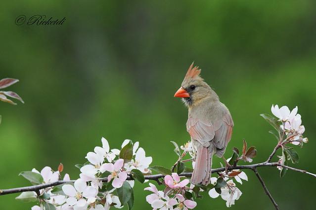cardinal rouge femelle / Northern cardinal  femaleF)