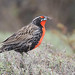 Long-tailed Meadowlark (Tim Melling)