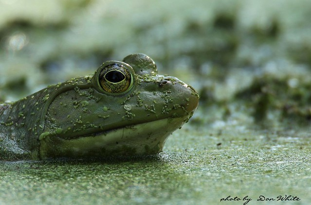 portrait of a bullfrog