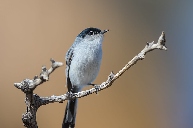 Black-tailed Gnatcatcher (X74_2167-1)