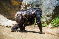 Chimpanzees at the Los Angeles Zoo
