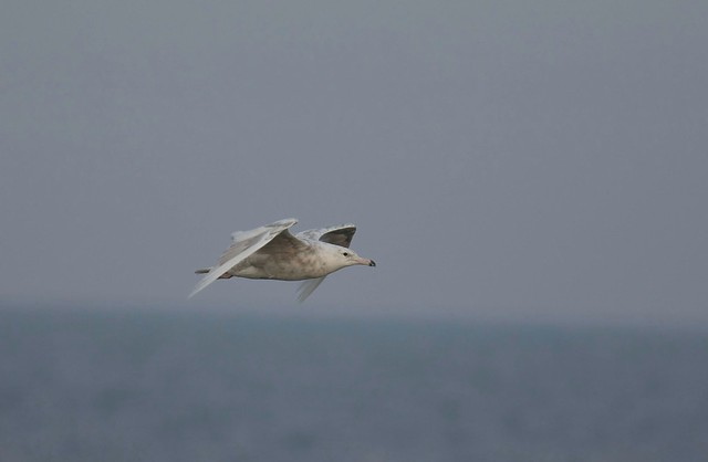 Mew Gull 2, Canon EOS 7D MARK II, Canon EF 400mm f/4 DO IS