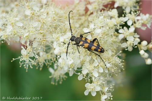 4 banded Longhorn Beetle