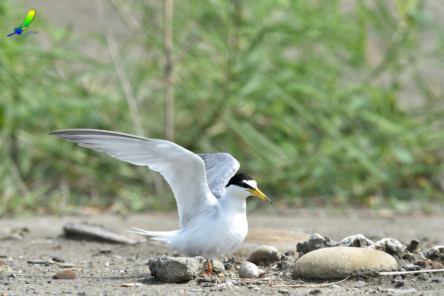 Little_Tern_6588