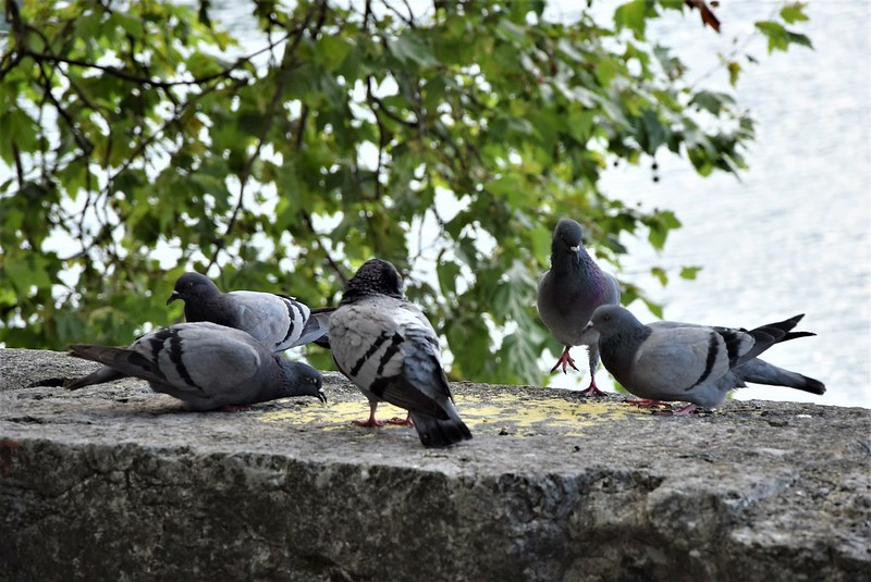 Pigeons 14.07 (3)