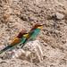 European Bee-Eaters (Ian Tulloch)