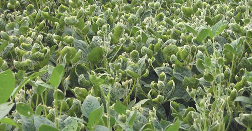 barber-dicamba-beans-3