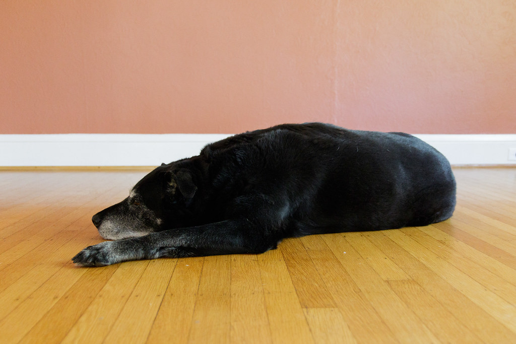 Our dog Ellie lies down in our dining room