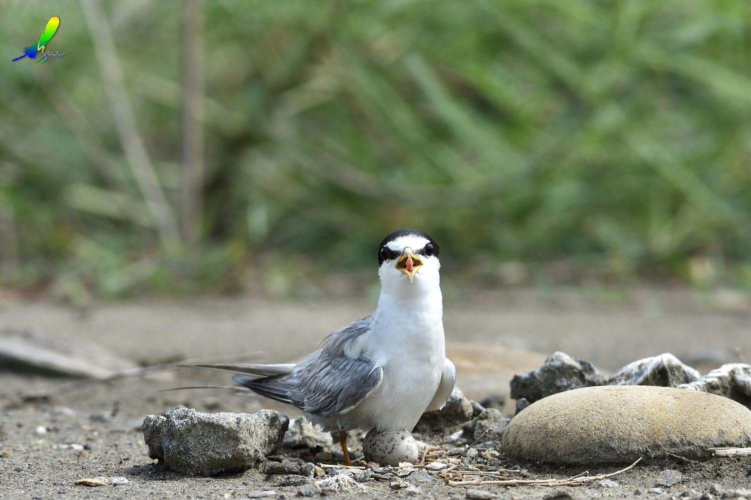 Little_Tern_6503
