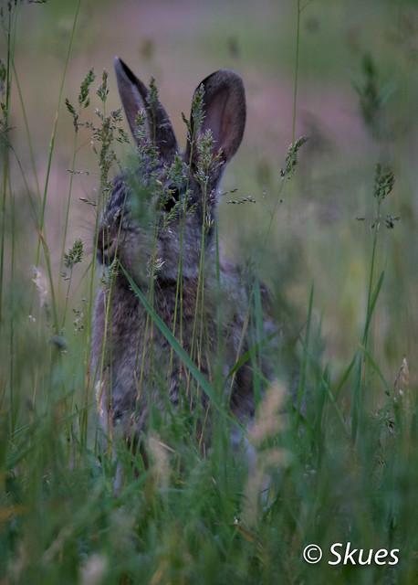 Wild Rabbit, Nikon D500, Sigma 150-600mm F5-6.3 DG OS HSM | S