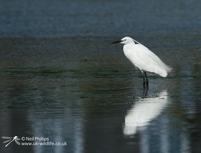 Little egret in West Looe River-11