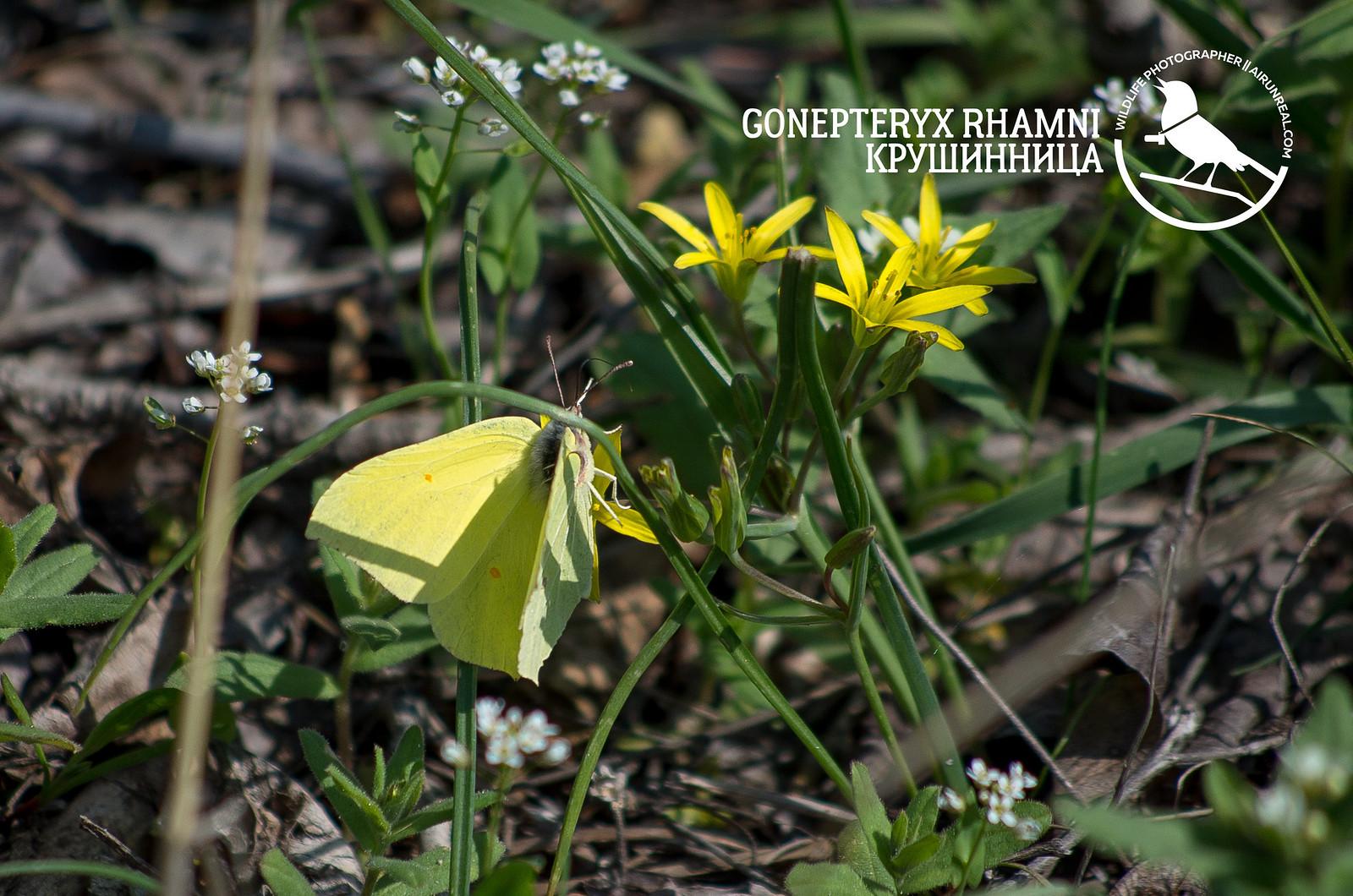 Gonepteryx rhamni // 20170709
