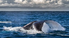 Jervis Bay Whales