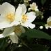 Cespuglio in fiore