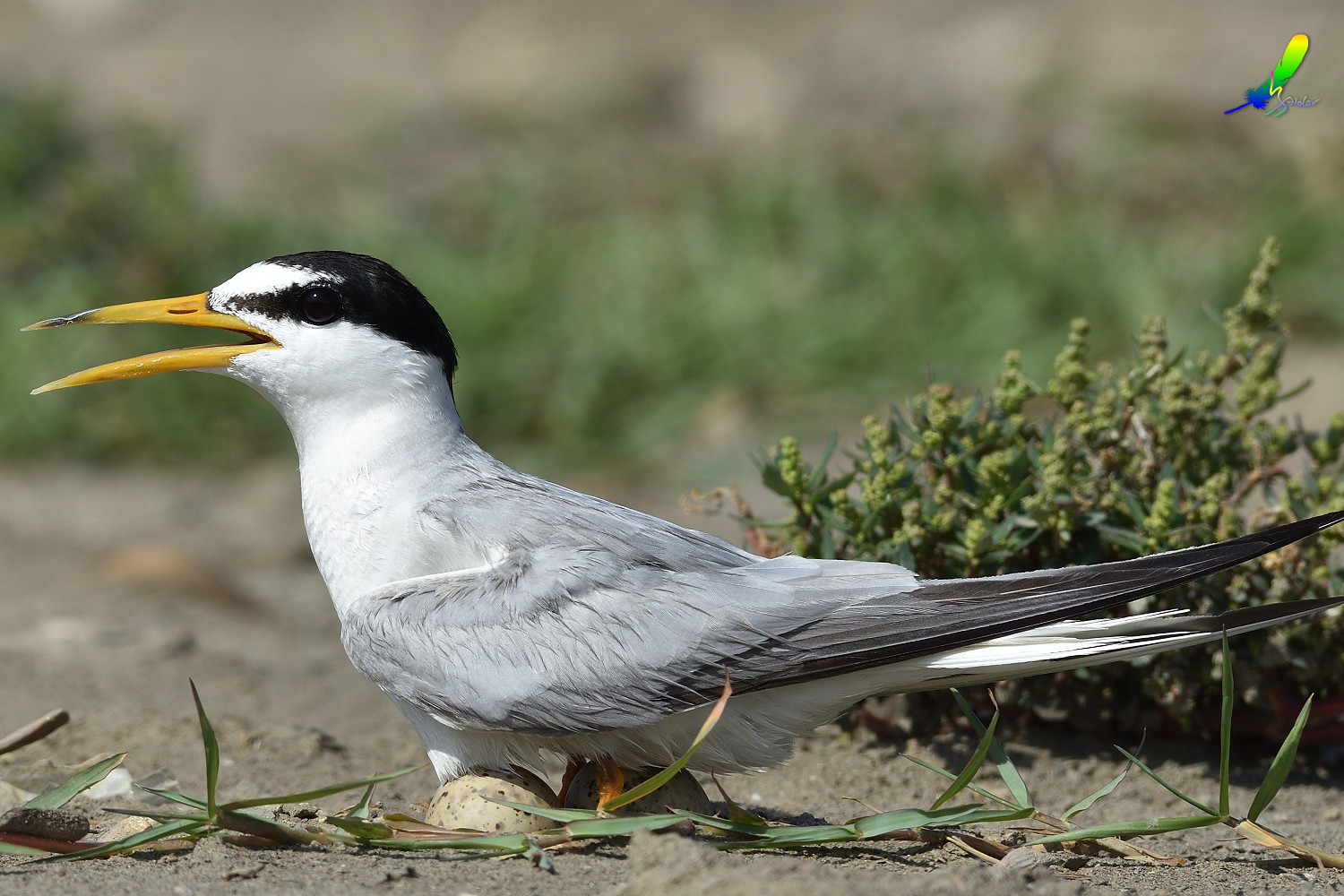 Little_Tern_9687