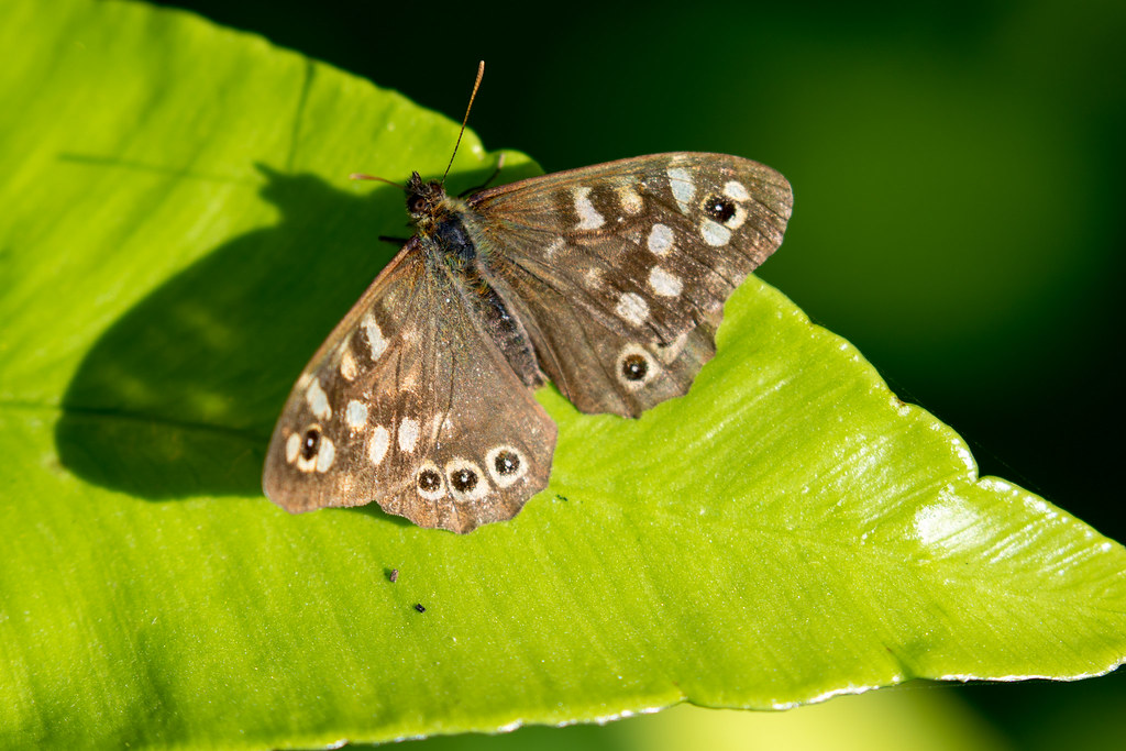 Speckled Wood Butterfly - Click to show full size