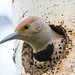 IMG_6541 northern flicker by starc283
