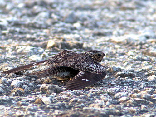 Common Nighthawk distraction display 02-20170618