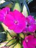 Flowers of Willis Tower