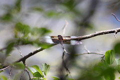 Dragonfly - Widow Skimmer