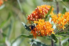 Bee on Butterfly Milkweed