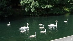 HolderMute Swans with Cygnets.