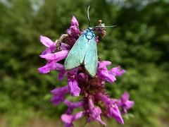 Turquoise de la Sarcille - Forester Moth