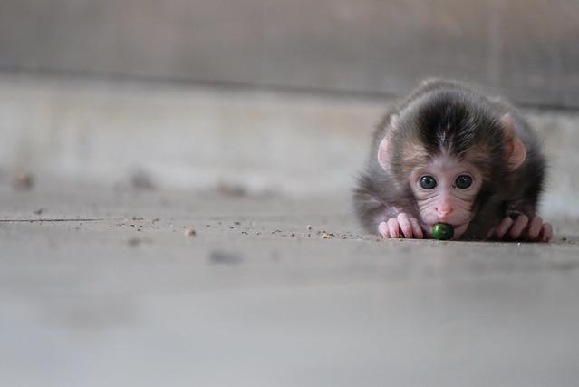 Japanese monkey baby, Fujifilm X-T2, XF100-400mmF4.5-5.6 R LM OIS WR